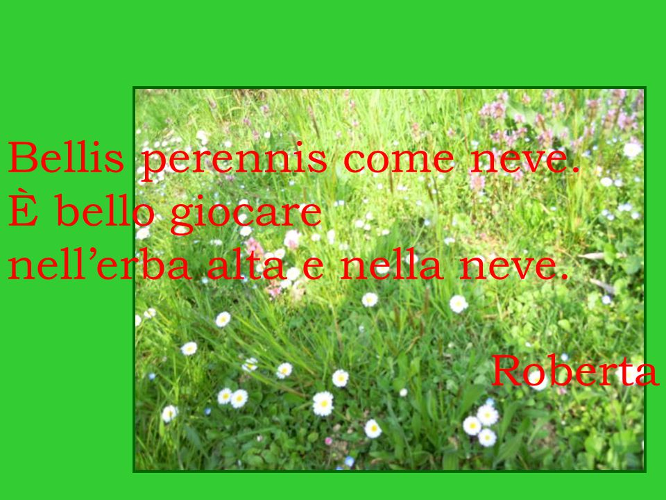 Bellis perennis come neve.