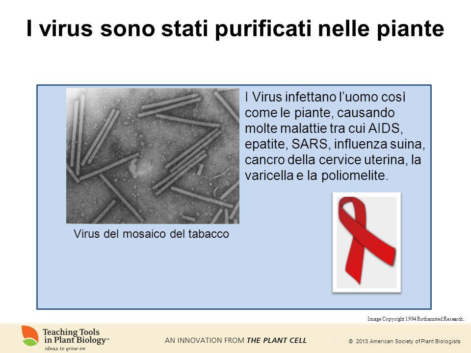 I virus sono stati purificati nelle piante