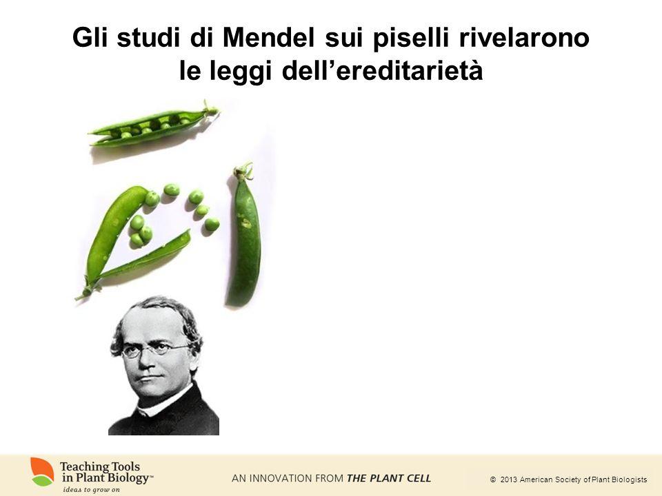 Gli studi di Mendel sui piselli rivelarono le leggi dell'ereditarietà