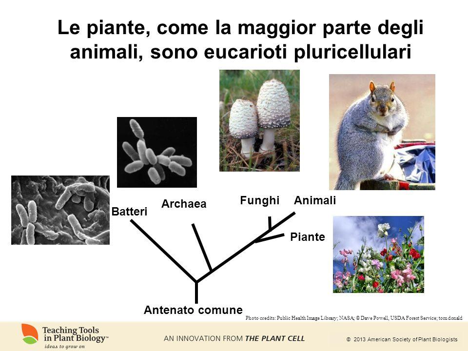 Le piante, come la maggior parte degli animali, sono eucarioti pluricellulari