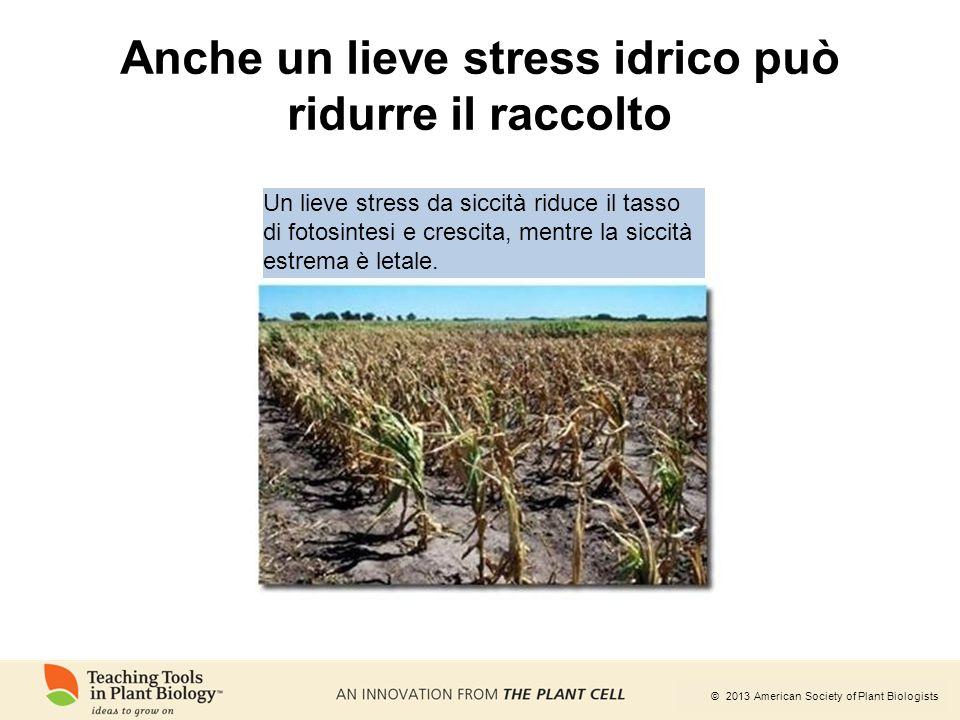 Anche un lieve stress idrico può ridurre il raccolto