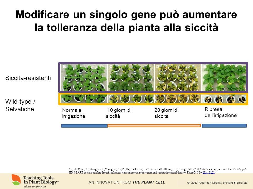 Modificare un singolo gene può aumentare la tolleranza della pianta alla siccità