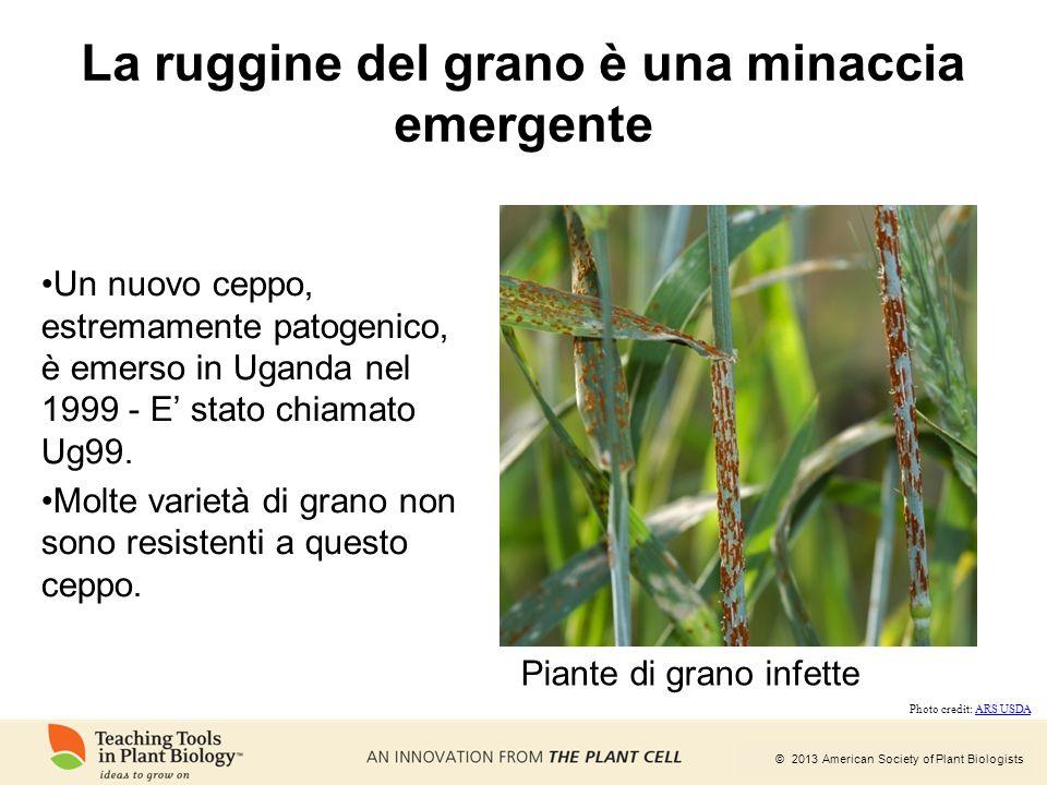 La ruggine del grano è una minaccia emergente