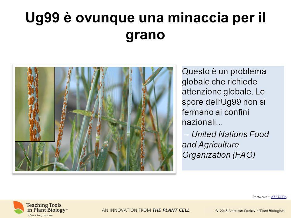 Ug99 è ovunque una minaccia per il grano