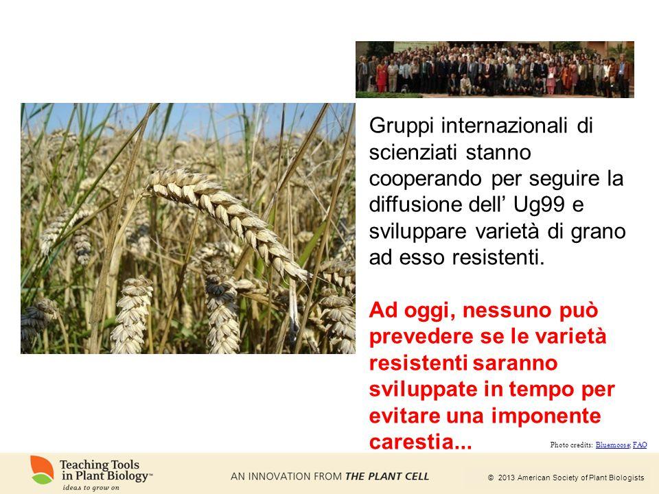 Gruppi internazionali di scienziati stanno cooperando per seguire la diffusione dell' Ug99 e sviluppare varietà di grano ad esso resistenti.