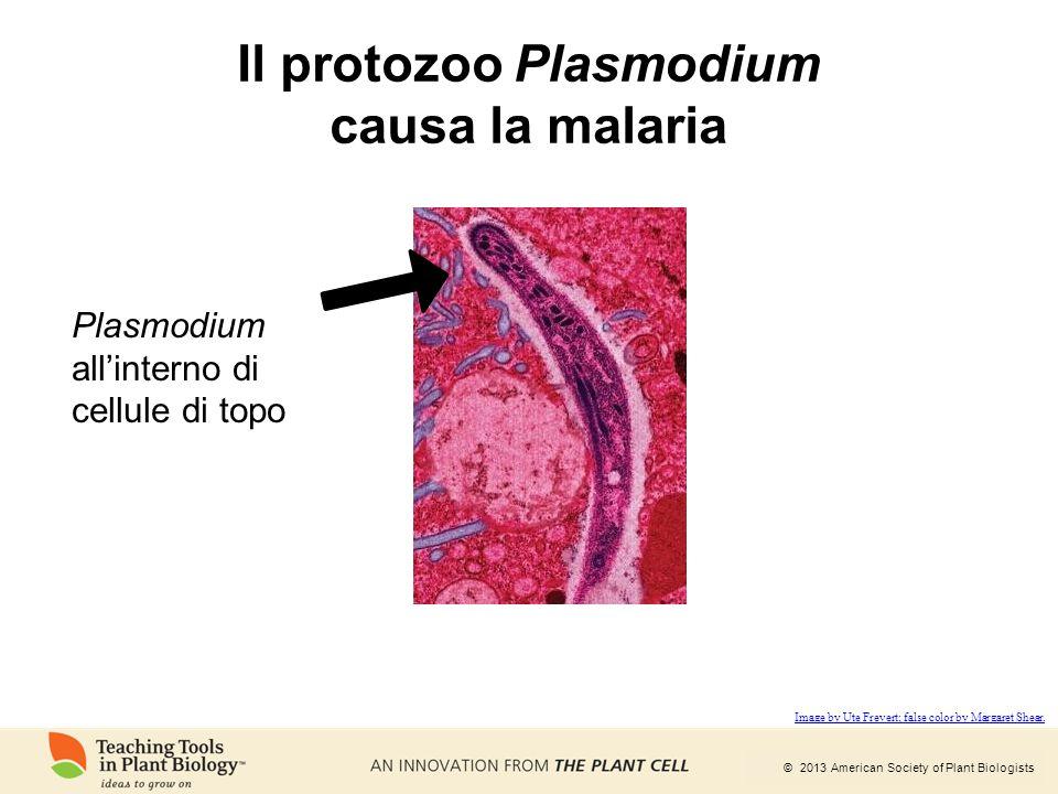 Il protozoo Plasmodium causa la malaria