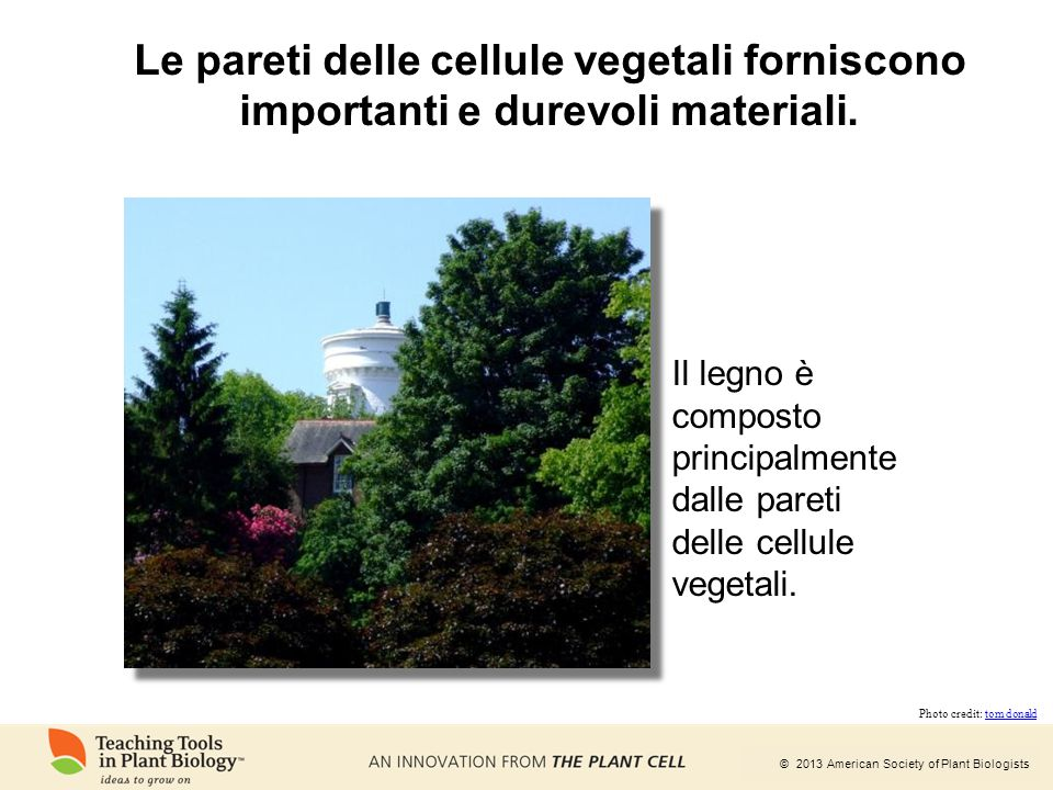 Le pareti delle cellule vegetali forniscono importanti e durevoli materiali.