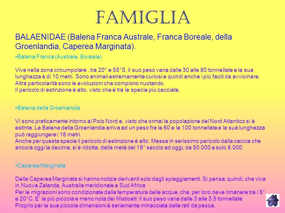 FAMIGLIA BALAENIDAE (Balena Franca Australe, Franca Boreale, della Groenlandia, Caperea Marginata).