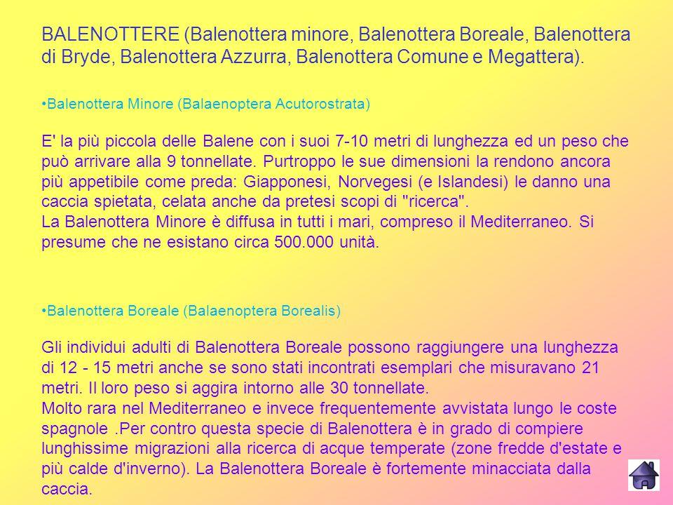 BALENOTTERE (Balenottera minore, Balenottera Boreale, Balenottera di Bryde, Balenottera Azzurra, Balenottera Comune e Megattera).