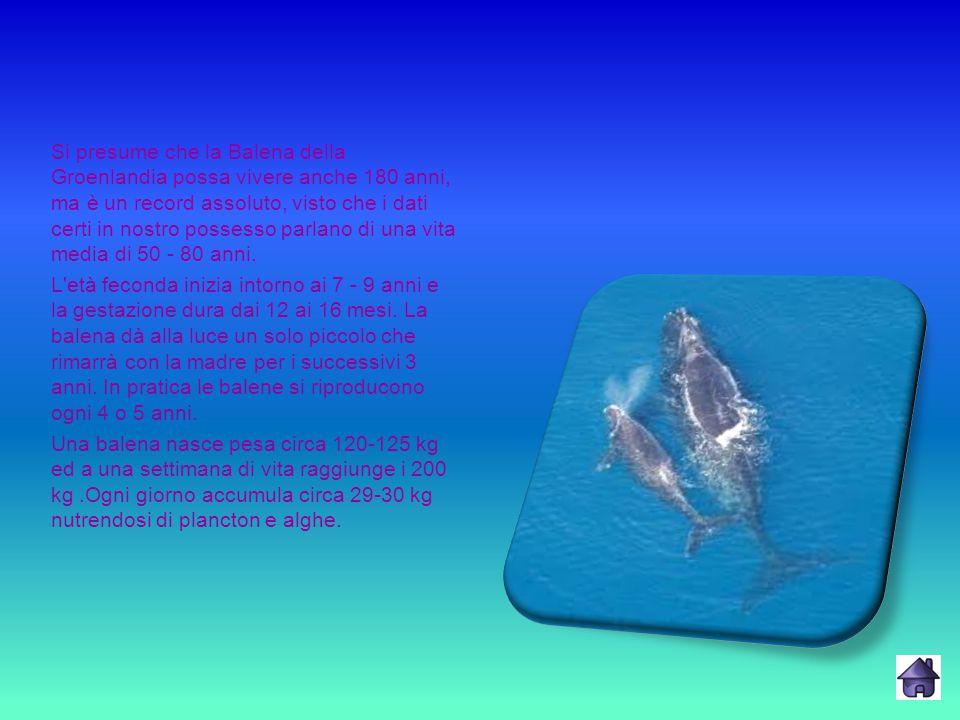 Si presume che la Balena della Groenlandia possa vivere anche 180 anni, ma è un record assoluto, visto che i dati certi in nostro possesso parlano di una vita media di 50 - 80 anni.