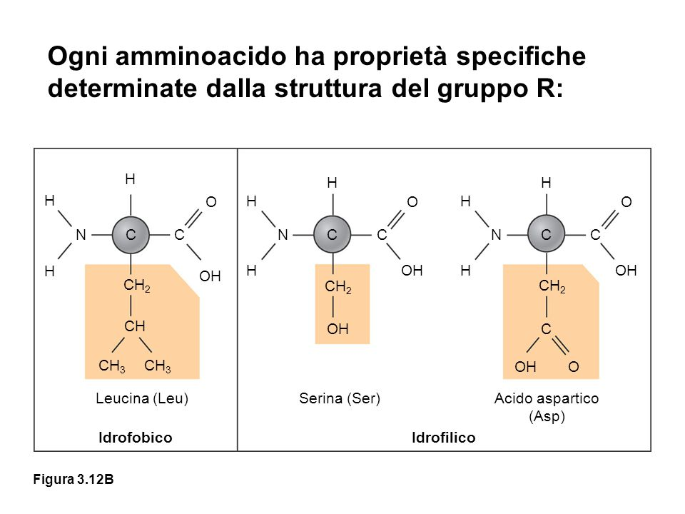 Ogni amminoacido ha proprietà specifiche determinate dalla struttura del gruppo R: H. N. C. CH2.