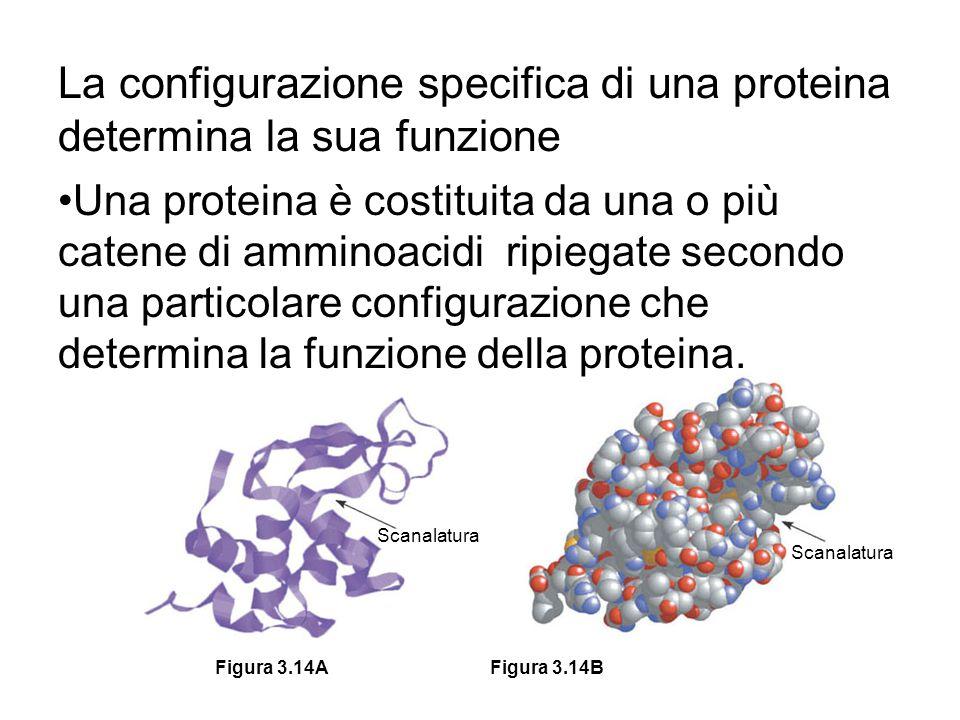 La configurazione specifica di una proteina determina la sua funzione