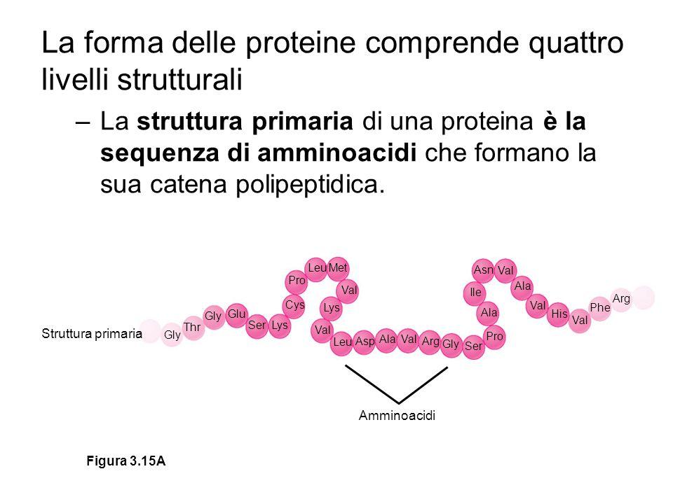La forma delle proteine comprende quattro livelli strutturali