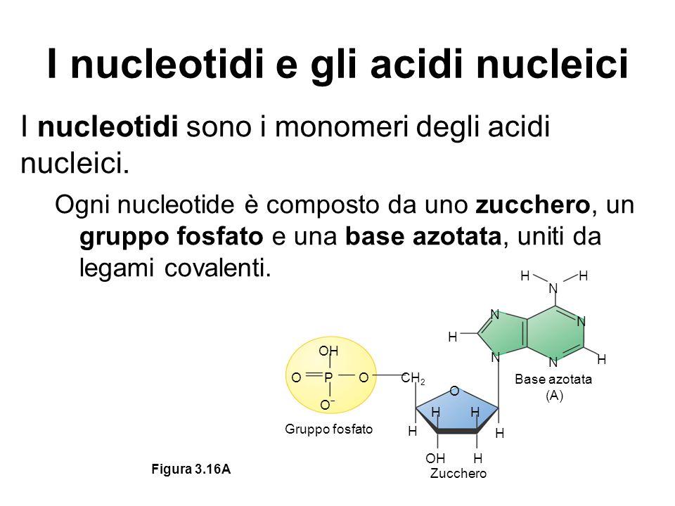 I nucleotidi e gli acidi nucleici