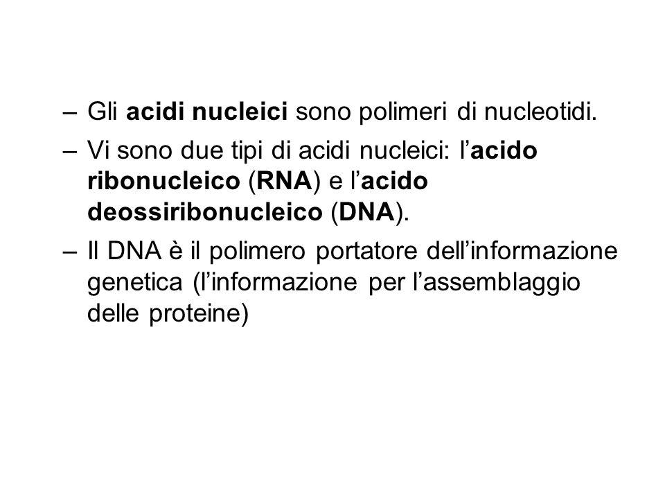 Gli acidi nucleici sono polimeri di nucleotidi. Vi sono due tipi di acidi nucleici: l'acido ribonucleico (RNA) e l'acido deossiribonucleico (DNA).
