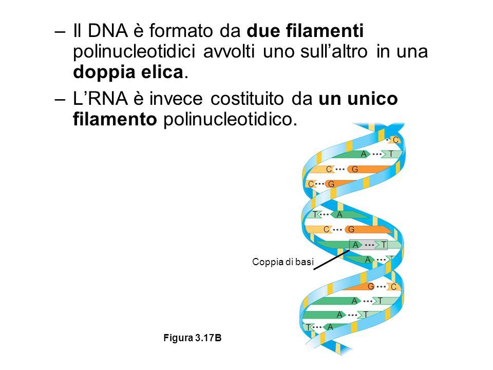 L'RNA è invece costituito da un unico filamento polinucleotidico.