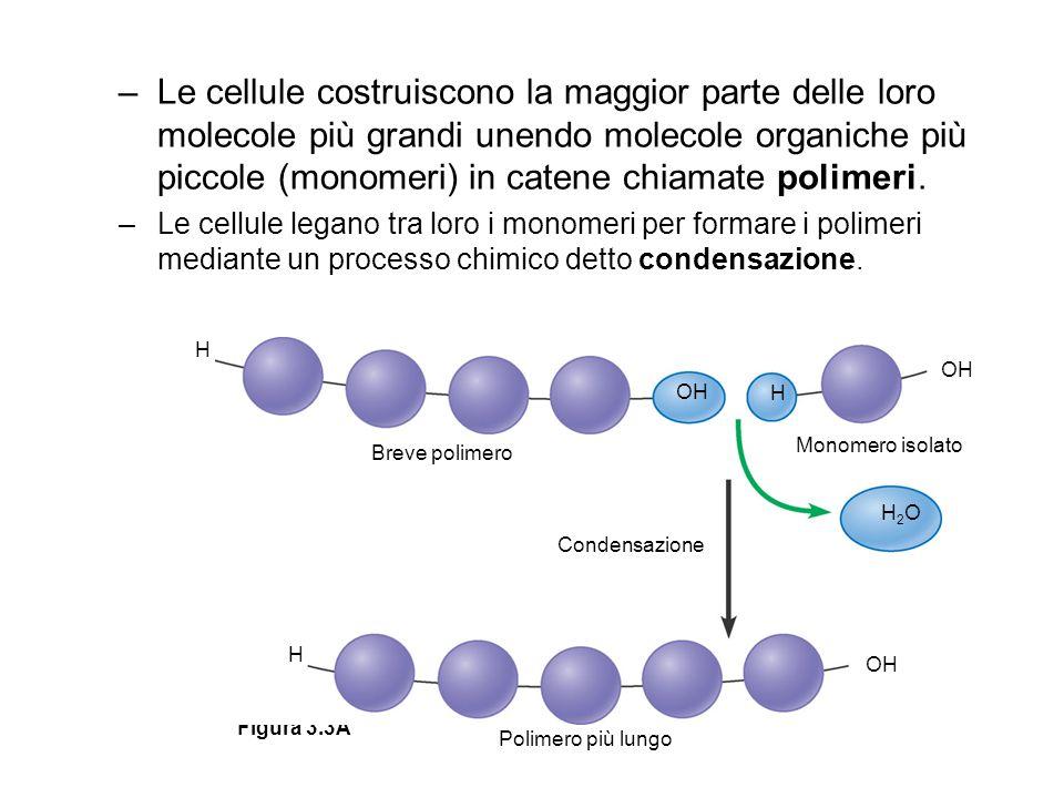 Le cellule costruiscono la maggior parte delle loro molecole più grandi unendo molecole organiche più piccole (monomeri) in catene chiamate polimeri.