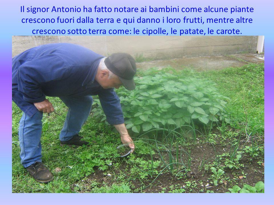 Il signor Antonio ha fatto notare ai bambini come alcune piante crescono fuori dalla terra e qui danno i loro frutti, mentre altre crescono sotto terra come: le cipolle, le patate, le carote.