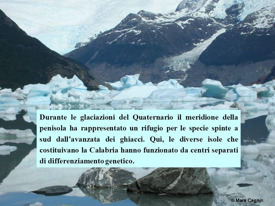 Durante le glaciazioni del Quaternario il meridione della penisola ha rappresentato un rifugio per le specie spinte a sud dall'avanzata dei ghiacci. Qui, le diverse isole che costituivano la Calabria hanno funzionato da centri separati di differenziamento genetico.
