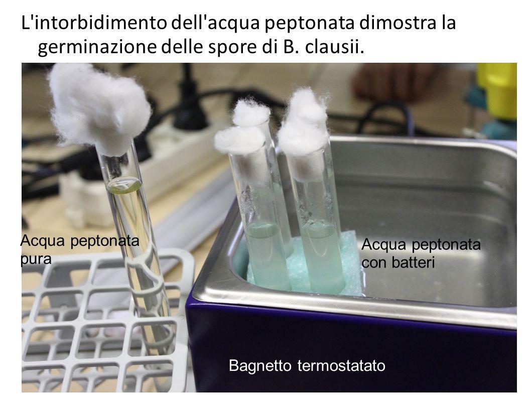L intorbidimento dell acqua peptonata dimostra la germinazione delle spore di B. clausii.