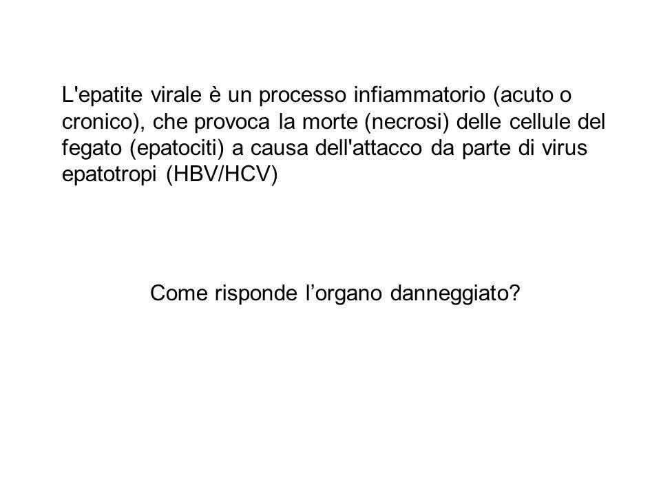 L epatite virale è un processo infiammatorio (acuto o cronico), che provoca la morte (necrosi) delle cellule del fegato (epatociti) a causa dell attacco da parte di virus epatotropi (HBV/HCV)