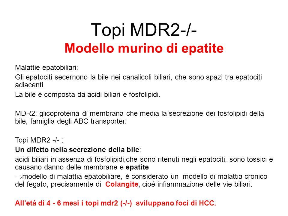 Topi MDR2-/- Modello murino di epatite