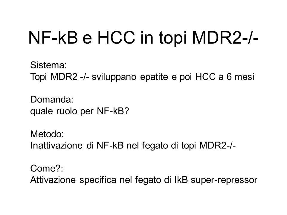NF-kB e HCC in topi MDR2-/-