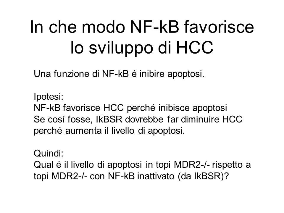 In che modo NF-kB favorisce lo sviluppo di HCC