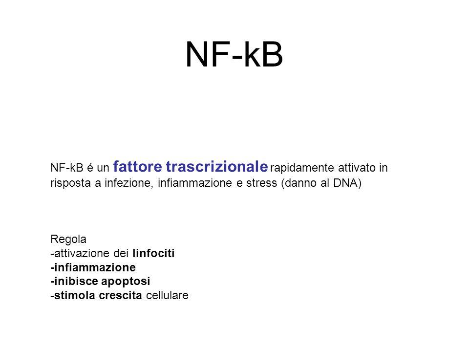 NF-kB NF-kB é un fattore trascrizionale rapidamente attivato in risposta a infezione, infiammazione e stress (danno al DNA)