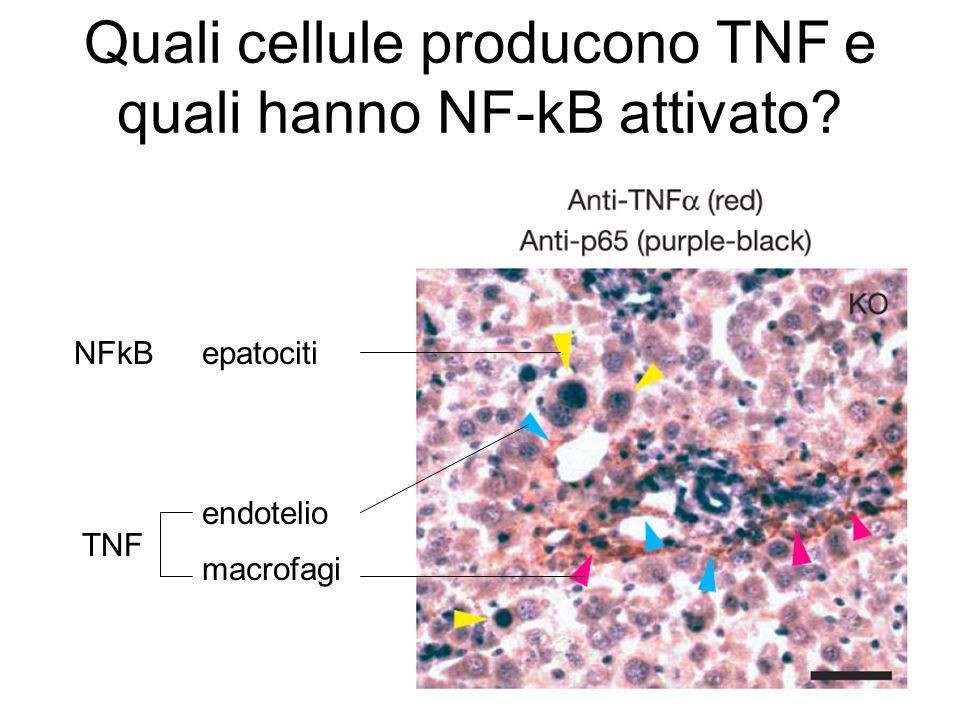 Quali cellule producono TNF e quali hanno NF-kB attivato