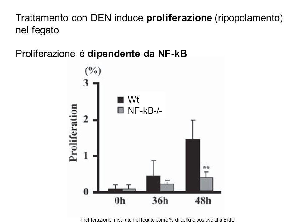 Trattamento con DEN induce proliferazione (ripopolamento) nel fegato