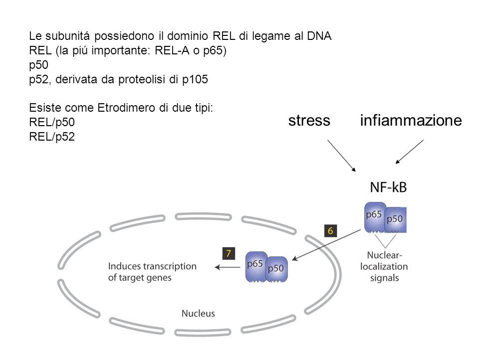 Le subunitá possiedono il dominio REL di legame al DNA REL (la piú importante: REL-A o p65) p50 p52, derivata da proteolisi di p105 Esiste come Etrodimero di due tipi: REL/p50 REL/p52