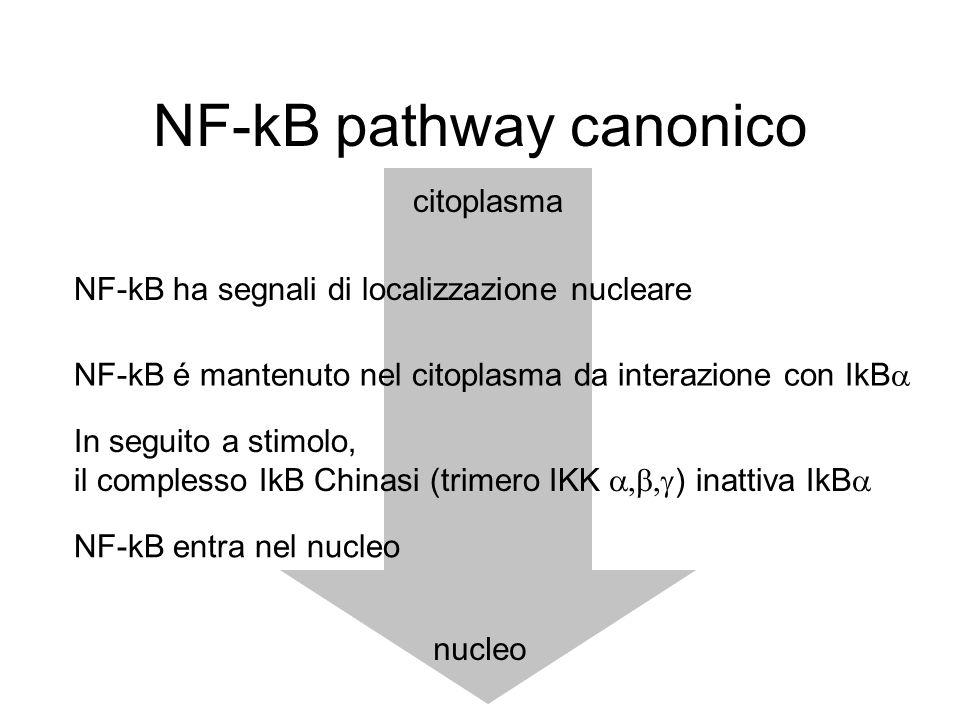 NF-kB pathway canonico