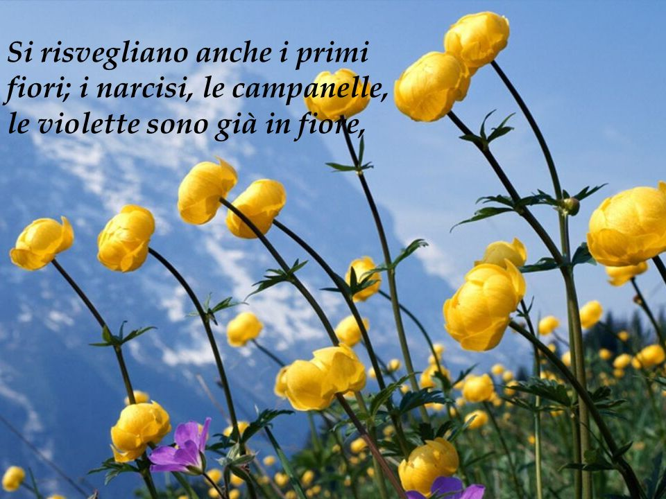 Si risvegliano anche i primi fiori; i narcisi, le campanelle, le violette sono già in fiore,
