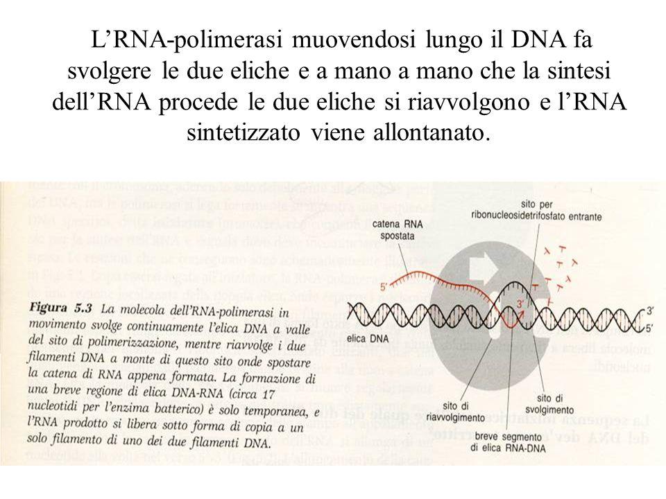 L'RNA-polimerasi muovendosi lungo il DNA fa svolgere le due eliche e a mano a mano che la sintesi dell'RNA procede le due eliche si riavvolgono e l'RNA sintetizzato viene allontanato.