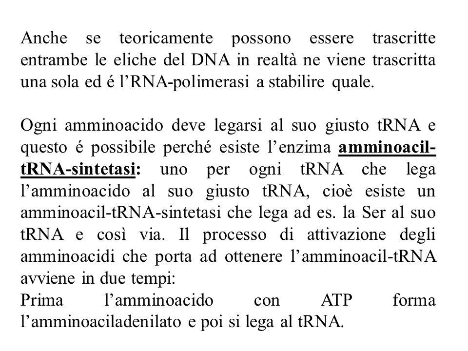 Anche se teoricamente possono essere trascritte entrambe le eliche del DNA in realtà ne viene trascritta una sola ed é l'RNA-polimerasi a stabilire quale.