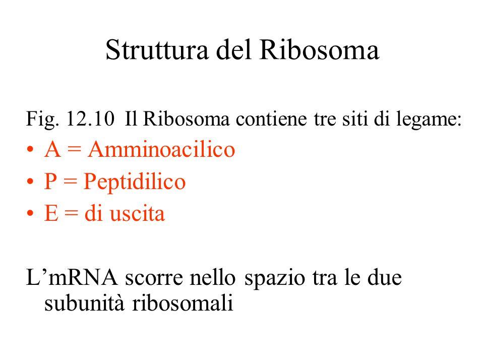 Struttura del Ribosoma