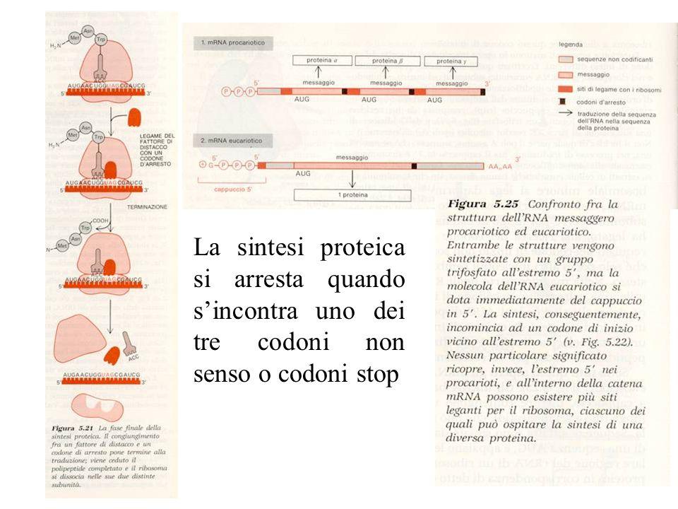 La sintesi proteica si arresta quando s'incontra uno dei tre codoni non senso o codoni stop