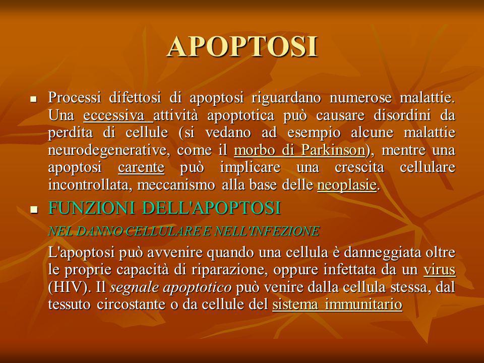 APOPTOSI FUNZIONI DELL APOPTOSI