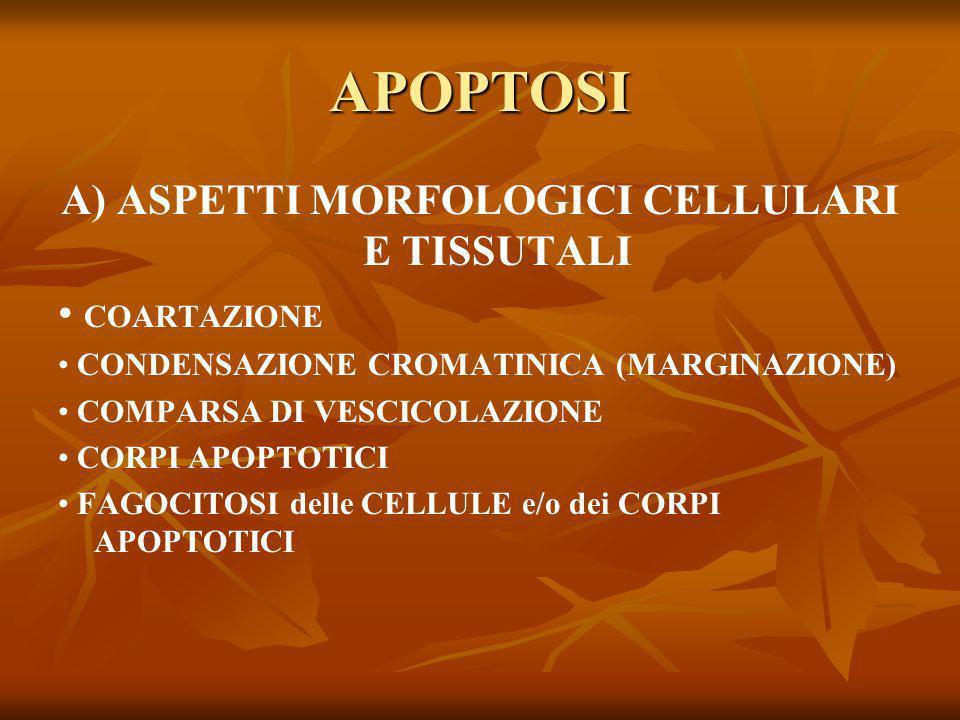 A) ASPETTI MORFOLOGICI CELLULARI E TISSUTALI