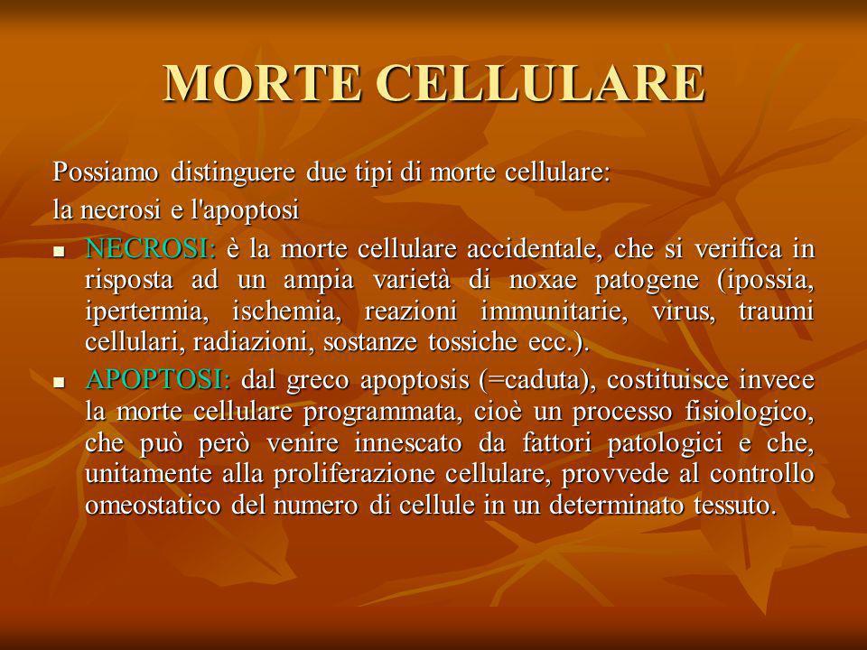 MORTE CELLULARE Possiamo distinguere due tipi di morte cellulare:
