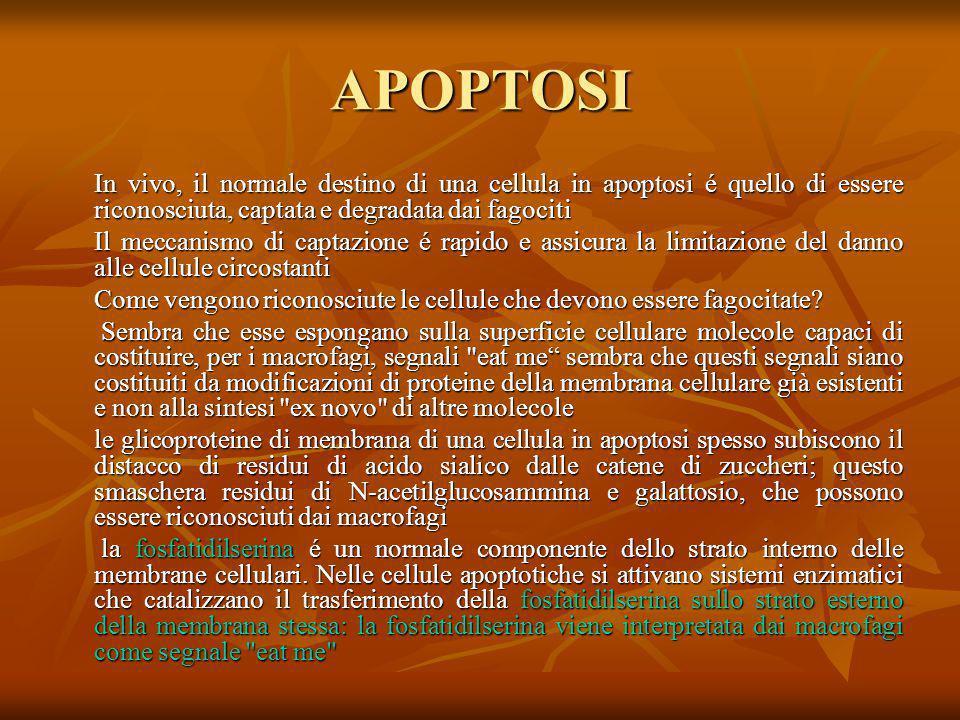 APOPTOSI In vivo, il normale destino di una cellula in apoptosi é quello di essere riconosciuta, captata e degradata dai fagociti.