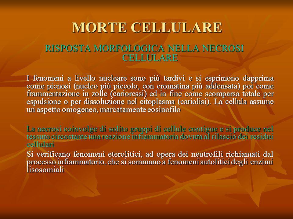 RISPOSTA MORFOLOGICA NELLA NECROSI CELLULARE