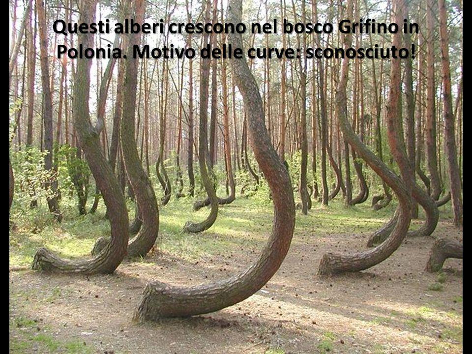 Questi alberi crescono nel bosco Grifino in Polonia