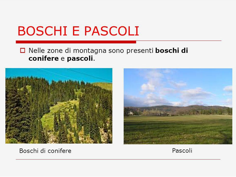 BOSCHI E PASCOLI Nelle zone di montagna sono presenti boschi di conifere e pascoli. Boschi di conifere.