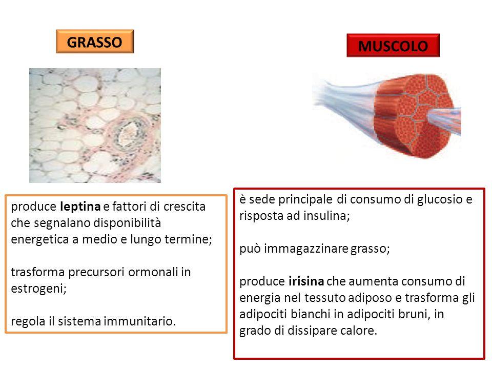 GRASSO MUSCOLO. è sede principale di consumo di glucosio e risposta ad insulina; può immagazzinare grasso;