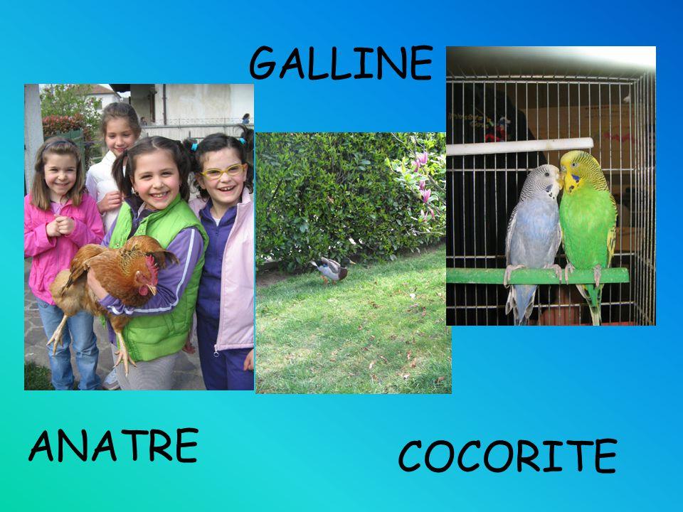 GALLINE ANATRE COCORITE