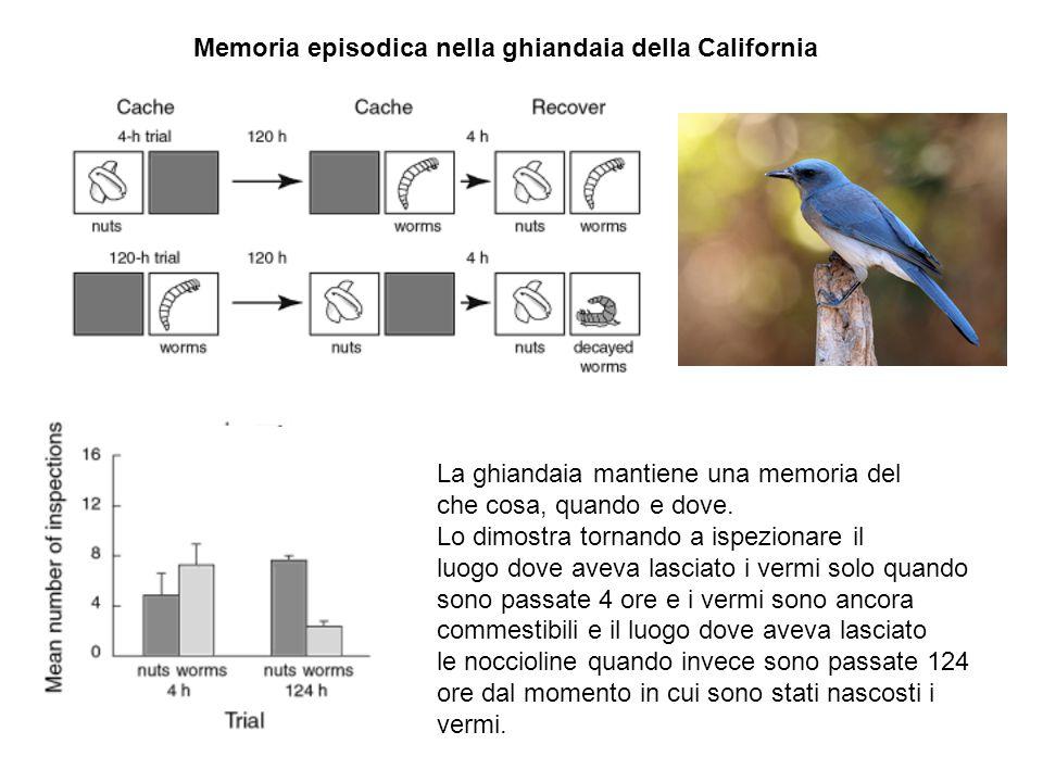 Memoria episodica nella ghiandaia della California