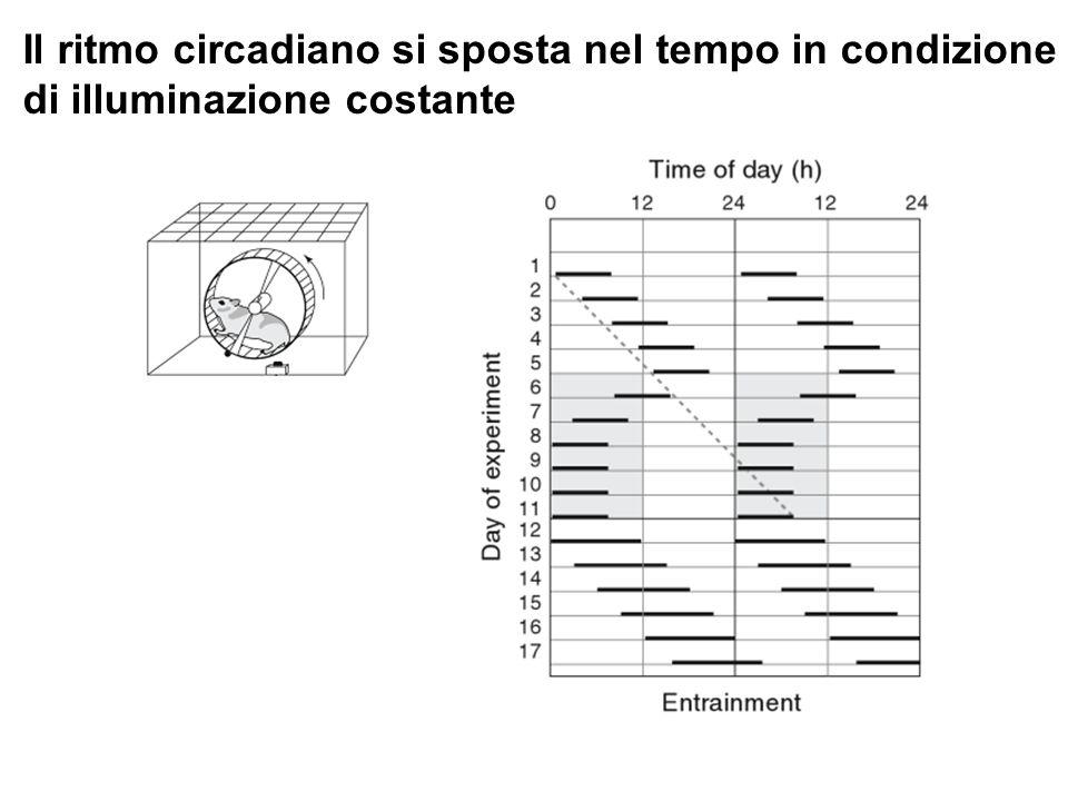 Il ritmo circadiano si sposta nel tempo in condizione
