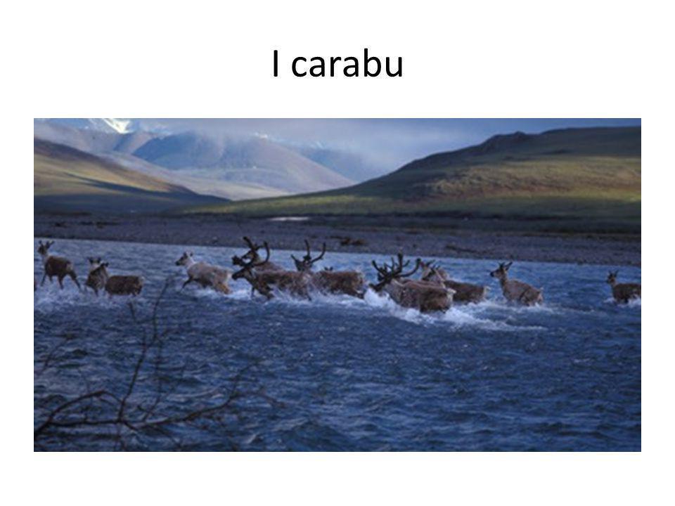 I carabu Caribou.